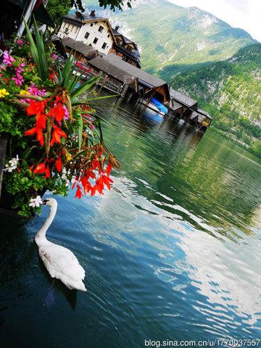 天鹅在湖中游戈