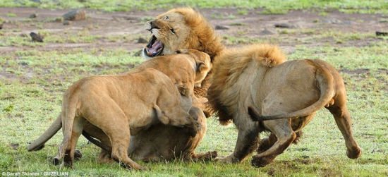 雄狮惹母狮群殴