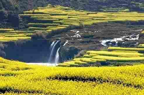 九龙瀑布边的油菜花
