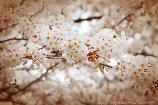 加拿大多伦多赏樱花
