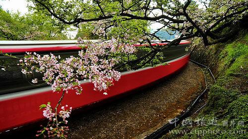 火车飞快,越过阿里山,穿过樱花林(张秀凰摄)