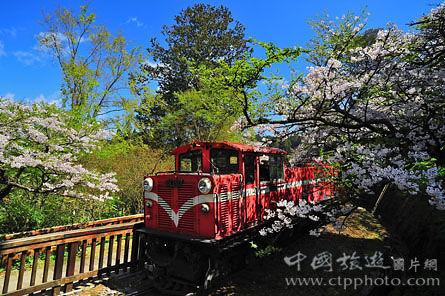 经典的樱花铁道(张秀凰摄)