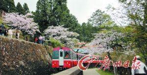 坐上登山火车穿梭于樱花林间,更是惬意无比。