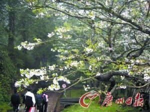 阿里山也是著名赏樱地