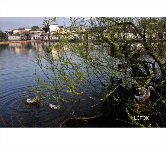 宏村戏水的鸭子