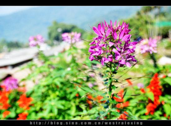 清迈苗人村的花