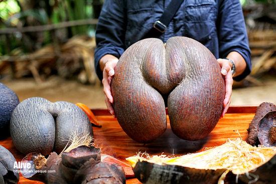 新浪旅游配图:塞舌尔的国宝——海椰子 摄影:iceque