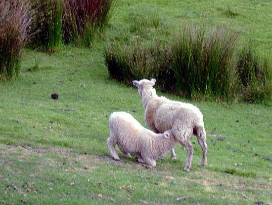 两只在玩耍的羊