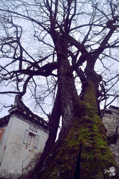 百年的大树苍劲毅力着,据说能长出松柏两种树叶