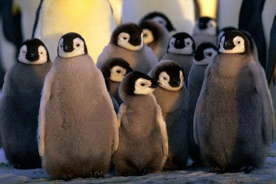 成群的企鹅