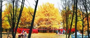 银杏景观林