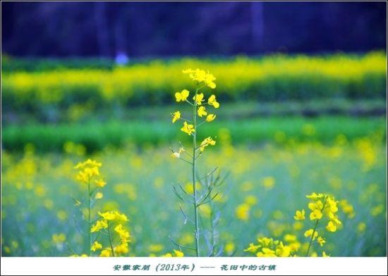 油菜花总是像阳光般灿烂