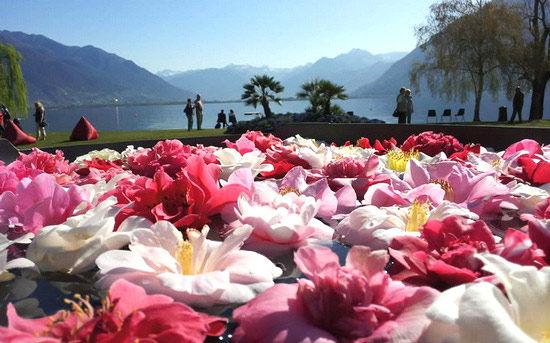 瑞士洛迦诺的茶花