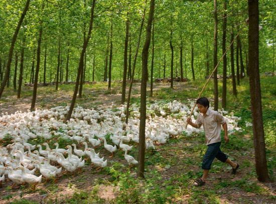 一位农夫在驱赶着他的鹅