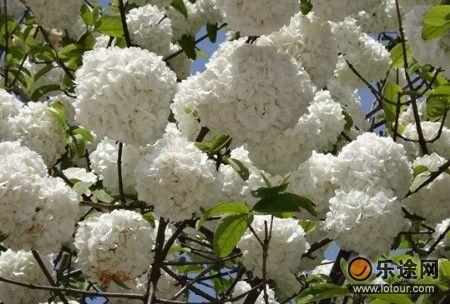 天沐温泉里美丽的绣球花