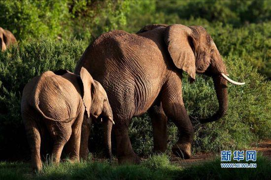 非洲象带着自己族群的幼崽在肯尼亚桑布鲁自然保护区
