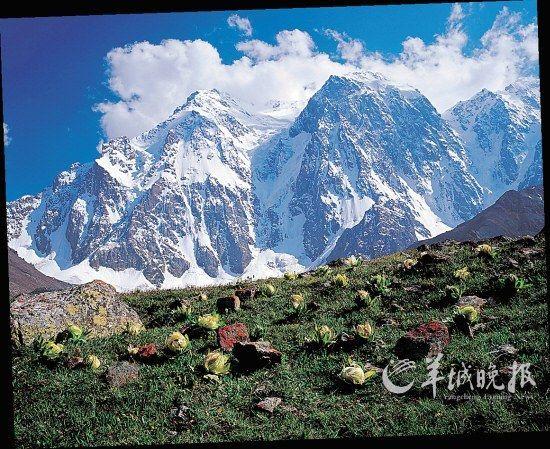 新疆天山博格达峰和天山雪莲