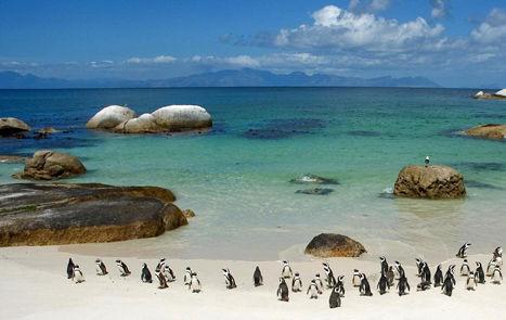 南非共和国小企鹅
