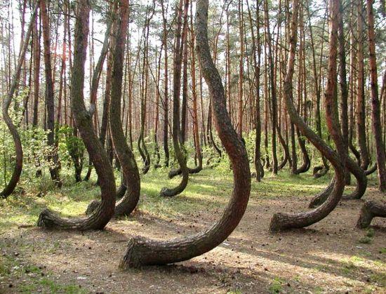 弯曲森林,波兰