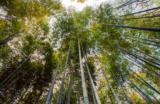 佐加野竹林,日本
