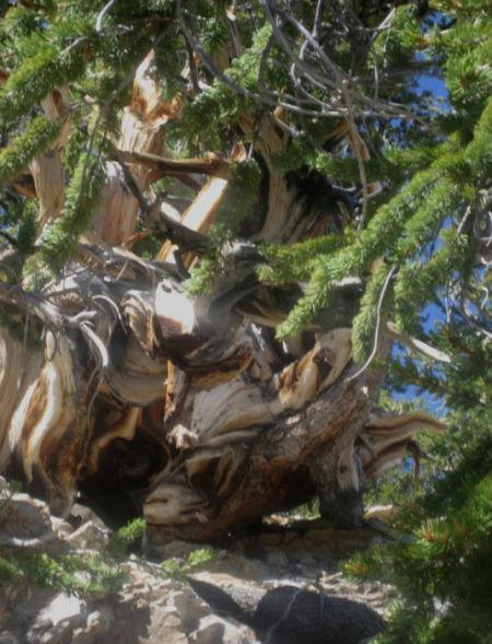 加州因约国家森林,美国