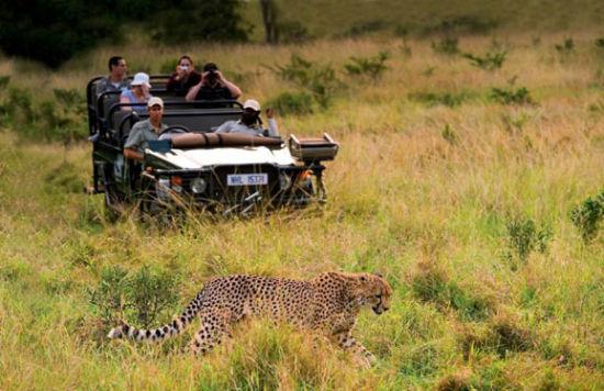 一头猎豹被发现于Mountain Lodge的平台上 越野车加速靠近,猎豹则钻进草中准备捕食