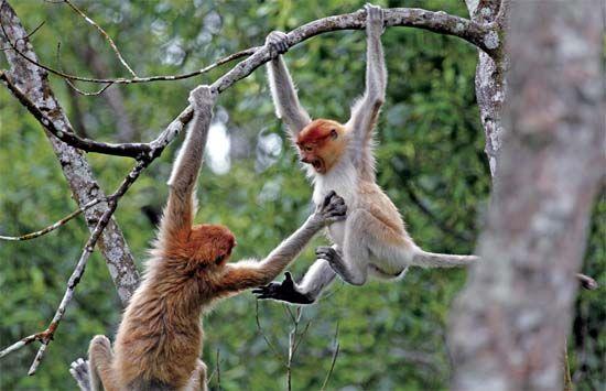 一群长鼻猴