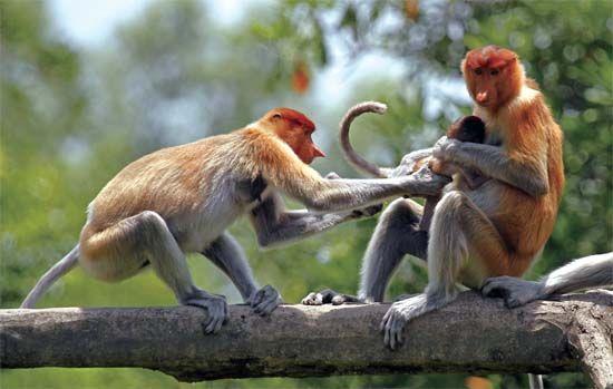 沙巴州的猕猴