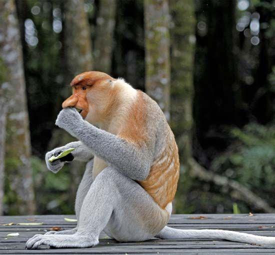 长鼻猴喂食