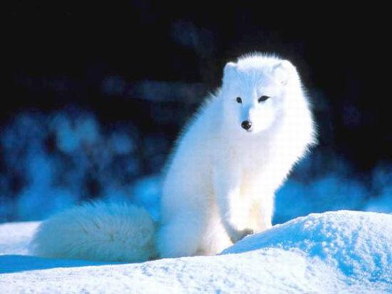 穿行在冰原中的北极狐