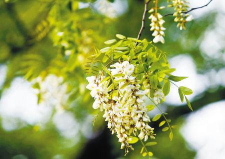 月湖畔偃月街上的槐花 (记者刘波 摄)