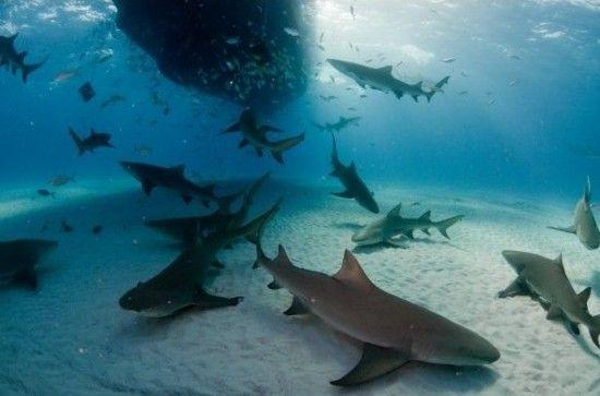 柠檬鲨:美国佛罗里达海岸