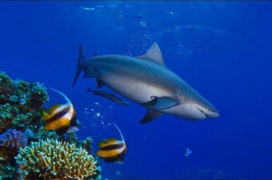 牛鲨:斐济的贝卡环礁