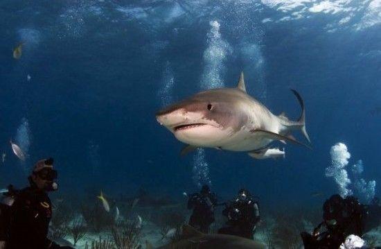 虎鲨:巴哈马群岛