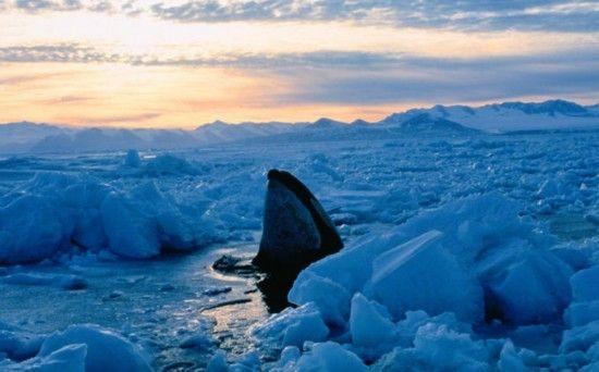 座头鲸把头探出冰面呼吸