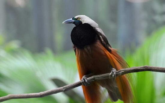 巴布亚新几内亚——观鸟天堂