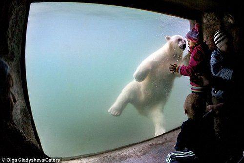 热情好客的北极熊正隔着玻璃窗同游客打招呼