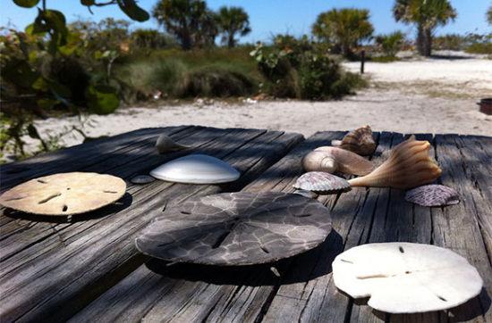 """卡约科斯塔州立公园   谣言有误,全美最棒的拾贝沙滩并不在科帕奇岛或萨尼贝尔。萨尼贝尔北部有一座海鸥飞过的海岛比这两座岛更棒。9英里(约14公里)长的卡约科斯塔也许少了一座桥和精致的旅馆,但州立公园岛有大量难觅的贝壳作为弥补。沙滩上散落着鸟蛤壳、蛾螺、榧螺和海螺,您必须穿鞋才能舒服地走在海岸上。   吃喝玩乐:岛上有一个纯朴的露营地,但大多数人会选择入住松树岛的布里奇沃特旅馆(Bridgewater Inn)或者Matlacha区的垂钓者客栈(Angler's Inn),然后选择一天来体验""""热带之星""""乘船游。游客可以通过科帕奇岛游轮渡过科帕奇岛和萨尼贝尔。旅游必需品包括饮用水、一顶帽子、防晒霜、装贝壳的网袋和一张沙滩睡椅。您可以游泳、捡贝壳和野餐,或只是放松下来,数数成群经过的海豚。暴风雨后的第一次低潮期为最佳旅行期,那时会有一大批新贝壳出现在沙滩上"""