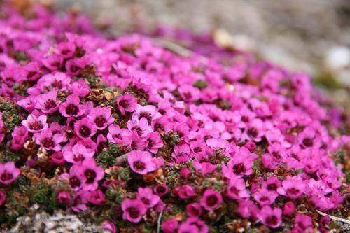 在挪威距离北极点约600英里的地方,一些鲜花盛开着