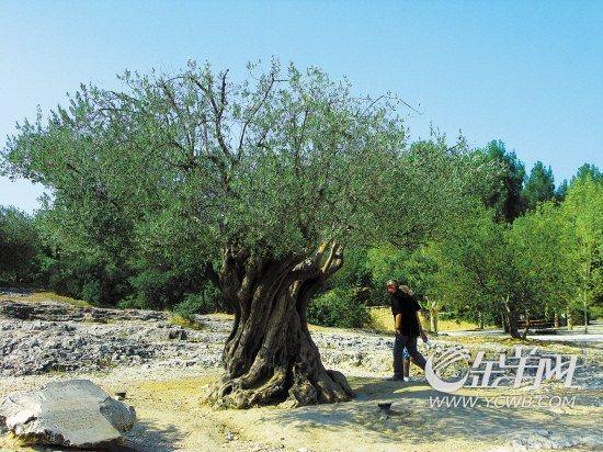 2000岁的橄榄树