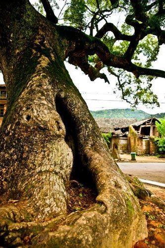 村旁的古树