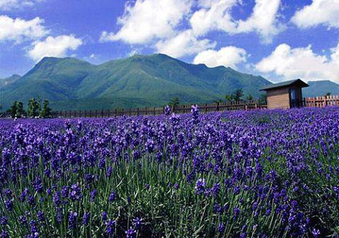普罗旺斯的薰衣草园