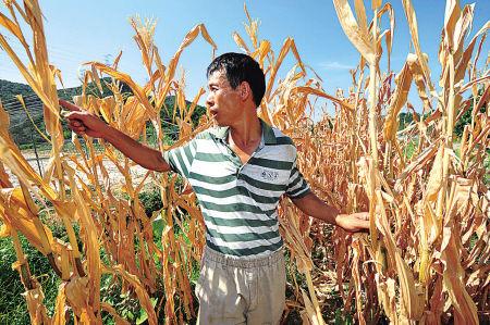 持续高温,使宁海县桥头胡街道涨家溪村金牛山自然村村民陈世文田里的玉米严重干枯。