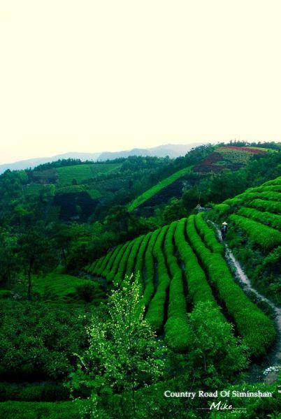 四明山丹山赤水的茶田