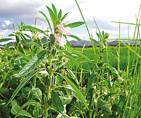 田间种植能开花或能发出香味的植物,吸引一些益虫帮助消灭害虫。