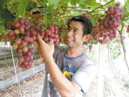 今年的葡萄丰收了,陈人初笑得合不拢嘴。记者 陈仲侨 摄