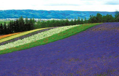 富良野富田农场的彩色花田是北海道夏季最缤纷的一幅画。台湾《联合报》史荣恩/摄