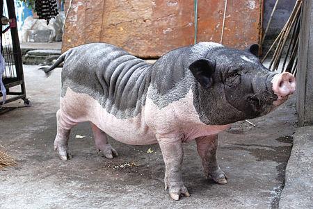 图为孔先生家的香猪。(沈孙晖 单玉紫枫 摄)