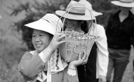 近日,在奉化溪口镇锦溪村,前几年种下的香榧树今年第一次结出了累累果实,村民开心地收获香榧青果。记者 许天长 摄