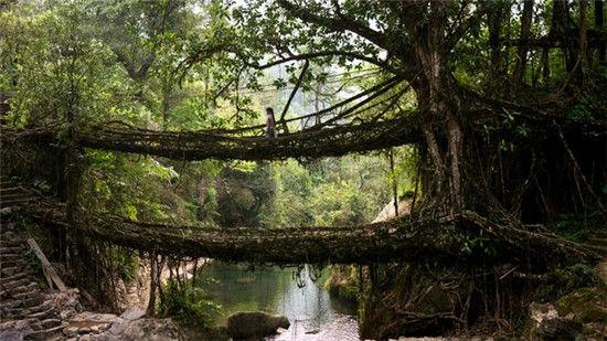 印度的树桥
